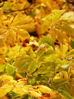 , fall leaves, golden, rays, light, yellow, yellow green