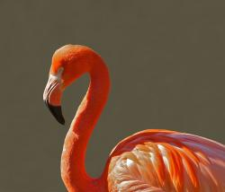 , flamingo, bird, pink, tropical, color, macro, closeup