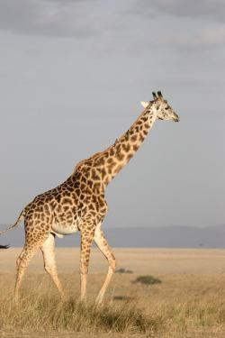, giraffe, tall, mammal, africa, south africa, wild