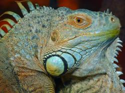 , green iguana, iguana, reptile, animal, creature, dragon