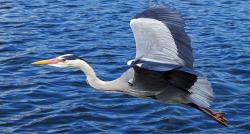 , grey heron, bird, graceful, large, river, water, flying