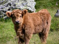 , haighlander, cow, animal, puppy, animals, pasture