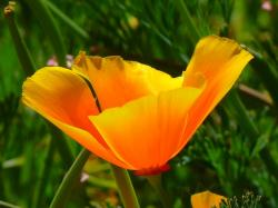 , iceland poppy, papaver nudicaule, naked stalks poppy