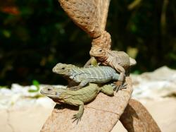 , iguanas, tree, animal, exotic, dominican, republic