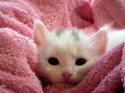 , kitten, cat, fluffy cat, cute, animals, cats, fur