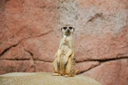 , meerkat, africa, animal, wild, animals, zoo