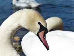 , mute swan, swan, bird, river, see, waters, water, swim