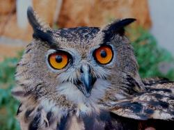 , owl, eagle, animal, bird, eyes