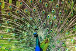 , peacock, pen, alluring yet, lure, tom, bird