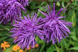 , rays aster, aster, flower, plant, purple, violet