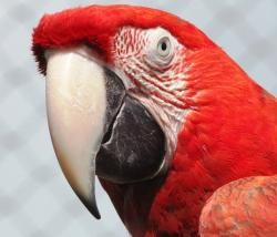 , red, macaw, parrot, bird, animal