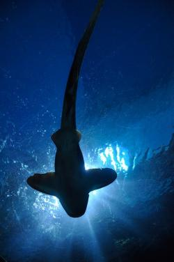, shark, fish, hammerhead shark, aquarium, bangkok