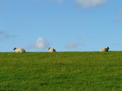 , sheep, group, rest, concerns, graze, wool, rhön sheep