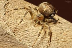 , spin, arthropods, spiders, close up, macro, spider