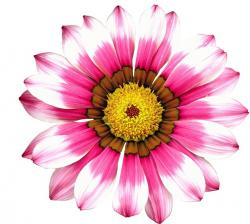 , summer, flower, plant, bloom, flowers, pink, png, free
