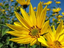 , sunflower, flower, yellow, blossom, summer, nature