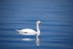 , swan, bird, animal, water, see, white, beautiful
