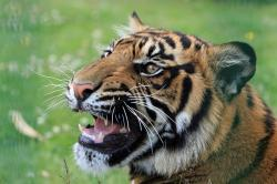 , tiger, snarling, close-up, head, face, portrait, cat