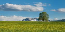 , tree, field, oilseed rape, summer, alpine, switzerland