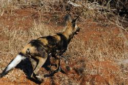 africa, animal, wild dog, hair, bush, african, nature