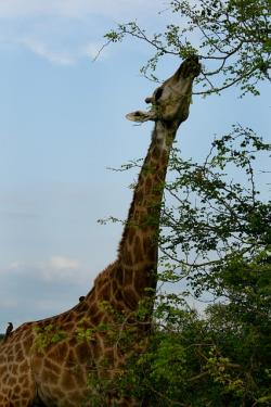 africa, south africa, giraffe, giraffe eating leaves