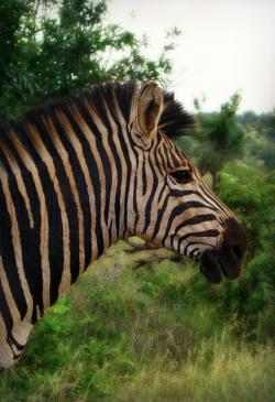 africa, south africa, zebra, zebra profile, savanna
