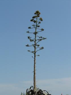 agave, plant, flower, stalk, spur, pointed, flora