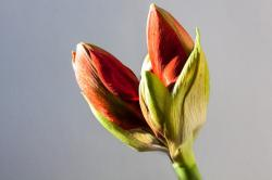 amaryllis, red, bud, flower, plant, botany, close