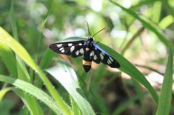 amata, black, butterfly, moth, phegea, spotted, stripe