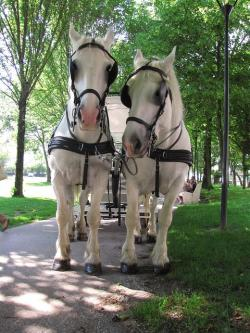 animal, animals, horse, horses, boulogne, white, rare