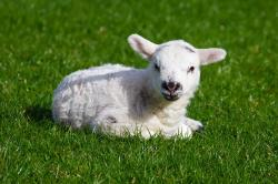 animal, baby, cute, farm, field, grass, green, infant