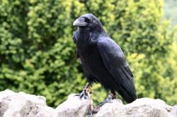 animal, beak, bird, black, claw, crow, feather, raven