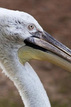 animal, beak, bird, creature, feather, one, pelican