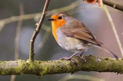 animal, beak, bird, cute, feathers, nature, robin
