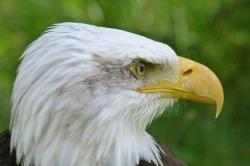 animal, bird, adler, bald eagle, close, bird of prey