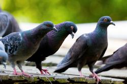 animal, bird, feather, pigeon, pigeons, roof, standing