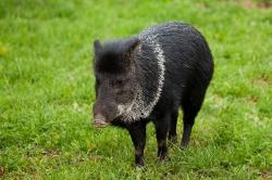 animal, black, boar, grass, green, hog, mammal