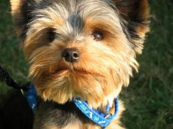 animal, breed, cute, dog, pet, puppy, terrier, yorkie
