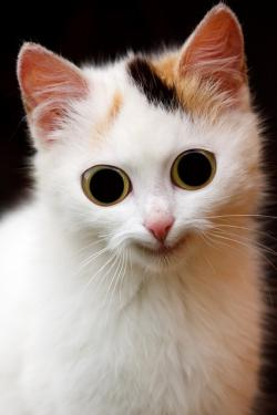 animal, cat, scary, domestic, ears, eye, eyes, face