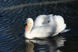 animal, swan, bird, mute swan, duck bird, white