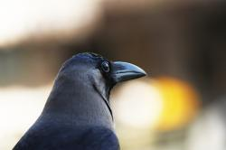 animals, animal, black, closeup, bird, birds, crow