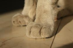 animals, animal, white, closeup, cat, fur, paws, toe