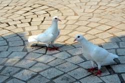 animals, bird, birds, pigeon, albino, pigeons, park