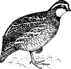animals, birds, bird, animal, bobwhite, wings, goose