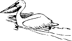 animals, birds, swim, pelican, animal, bird, swimming