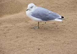 animals, nature, seagull, injured, sand