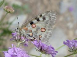 apollo, butterfly, apollofalter, parnassius apollo