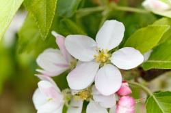 apple, bloom, blooming, blossom, closeup, color, detail