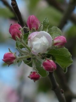 apple blossom, apple tree, flower, white, pink, road