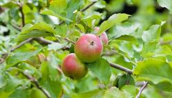 apples, apple, fresh, tree, fruit, food, photo, image